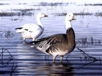Texas Duck Stamp Prints - 2001 Snow Geese by John Dearman