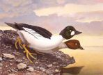Texas Stamp Prints - 2004 American Goldeneyes by Scott & Stuart Gentling