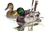 Texas Duck Stamp Prints - 1981 Mallards by Larry Hayden