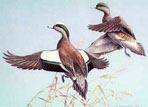 Texas Duck Stamp Prints - 1983 Widgeons by Maynard Reece