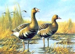 Texas Duck Stamp Prints - 1987 Specklebelly Geese by Gary Moss