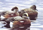 Texas Duck Stamp Prints - 1990 Wideons by Robert Bateman