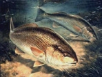 Texas Saltwater Stamp Prints - 2001 Redfish by Diane Rome Peebles