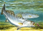 Texas Saltwater Stamp Prints - 1991 Speckled Trout by Al Agnew
