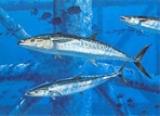 Texas Freshwater Fish Stamp Prints - 1993 King Mackerel by Al Barnes
