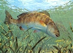 Texas Freshwater Fish Stamp Prints - 1994 Redfish by Mark Susinno